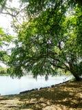 Πράσινο δέντρο από την πλευρά λιμνών στο πάρκο στη Μπανγκόκ Στοκ Εικόνα