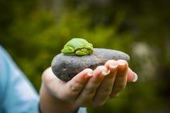 πράσινο δέντρο βατράχων Στοκ Εικόνες