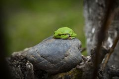 πράσινο δέντρο βατράχων Στοκ Εικόνα