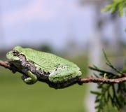 πράσινο δέντρο βατράχων Στοκ φωτογραφίες με δικαίωμα ελεύθερης χρήσης