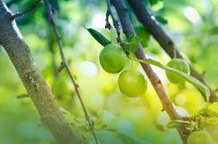 πράσινο δέντρο δαμάσκηνων Στοκ Εικόνες