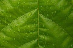 Πράσινο δέντρο κακάου φύλλων με τις πτώσεις νερού για το υπόβαθρο Στοκ Φωτογραφίες