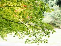 Πράσινο δέντρο κλάδων σφενδάμνου Στοκ εικόνες με δικαίωμα ελεύθερης χρήσης