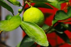 πράσινο δέντρο λεμονιών Στοκ Φωτογραφίες