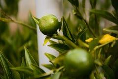 πράσινο δέντρο λεμονιών στοκ φωτογραφία με δικαίωμα ελεύθερης χρήσης