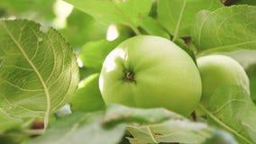 πράσινο δέντρο μήλων Κινηματογράφηση σε πρώτο πλάνο Μήλα στο δέντρο Τα όμορφα μήλα ωριμάζουν σε έναν κλάδο στις ακτίνες του ήλιου φιλμ μικρού μήκους