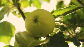 πράσινο δέντρο μήλων Κινηματογράφηση σε πρώτο πλάνο Τα όμορφα μήλα ωριμάζουν σε έναν κλάδο στις ακτίνες του ήλιου Γεωργική επιχεί απόθεμα βίντεο