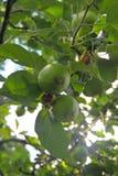 πράσινο δέντρο μήλων Στοκ φωτογραφίες με δικαίωμα ελεύθερης χρήσης