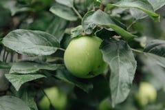 πράσινο δέντρο μήλων Στοκ Εικόνες