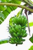 πράσινο δέντρο μπανανών Στοκ Φωτογραφίες
