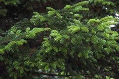 Πράσινο δέντρο πεύκων με το μαύρο υπόβαθρο Στοκ φωτογραφία με δικαίωμα ελεύθερης χρήσης