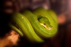 Πράσινο δέντρο python ή viridis του Μορέλια στον κλάδο Στοκ φωτογραφίες με δικαίωμα ελεύθερης χρήσης