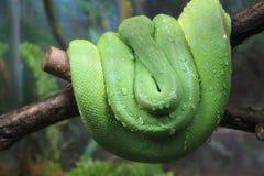 Πράσινο δέντρο python με τα σταγονίδια νερού σε το Στοκ φωτογραφίες με δικαίωμα ελεύθερης χρήσης