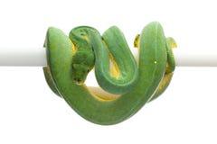 Πράσινο δέντρο python που απομονώνεται στο άσπρο υπόβαθρο Στοκ Φωτογραφίες
