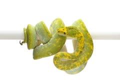 Πράσινο δέντρο python που απομονώνεται στο άσπρο υπόβαθρο Στοκ Εικόνες