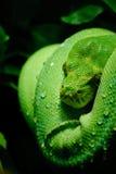 Πράσινο δέντρο python Στοκ εικόνα με δικαίωμα ελεύθερης χρήσης