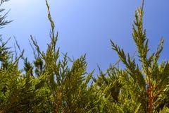 Πράσινο δέντρο thuya πέρα από το φυσικό υπόβαθρο μπλε ουρανού Στοκ Φωτογραφία