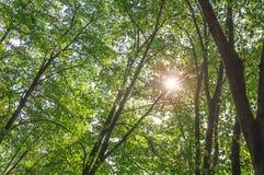 Πράσινο δασικό δέντρο και brunch με τη φλόγα φακών την ηλιόλουστη ημέρα Στοκ εικόνες με δικαίωμα ελεύθερης χρήσης