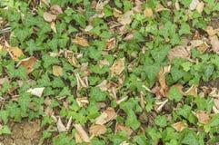 Πράσινο δασικό φυτό κισσών με το ξηρό υπόβαθρο φύλλων Στοκ Εικόνες