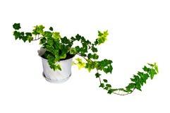 πράσινο δοχείο κισσών στοκ φωτογραφία με δικαίωμα ελεύθερης χρήσης