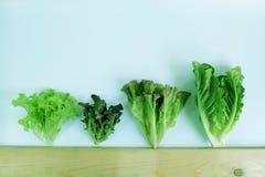 Πράσινο δρύινο, κόκκινο δρύινο, κόκκινο μαρούλι, κόκκινο μαρούλι φύλλων, υδροπονικός, οργανικός, σαλάτα λαχανικών στοκ φωτογραφία με δικαίωμα ελεύθερης χρήσης