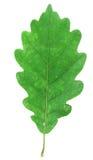 πράσινο δρύινο λευκό φύλλων Στοκ Εικόνες