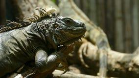 Πράσινο ερπετό Iguana στη φύση φιλμ μικρού μήκους