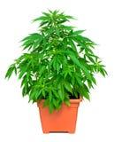 πράσινο λευκό φυτών μαριχουάνα φύλλων ανασκόπησης Στοκ φωτογραφία με δικαίωμα ελεύθερης χρήσης