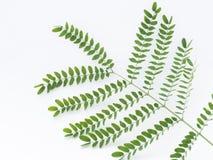 πράσινο λευκό φύλλων ανασκόπησης Στοκ εικόνα με δικαίωμα ελεύθερης χρήσης