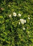 πράσινο λευκό χλόης λου&lam Στοκ Φωτογραφία