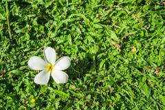 πράσινο λευκό plumeria χλόης λο&ups Στοκ Φωτογραφίες