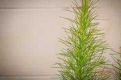 Πράσινο ζιζάνιο άνηθου (Anethum graveolens Linn ) άσπρο σε bric grunge Στοκ Φωτογραφία