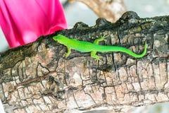 Πράσινο ζωηρόχρωμο Gecko σε ένα δέντρο στις Σεϋχέλλες Στοκ φωτογραφία με δικαίωμα ελεύθερης χρήσης
