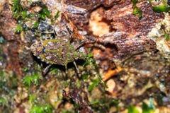Πράσινο ζωύφιο Masoala ασπίδων Στοκ Φωτογραφίες