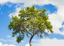 πράσινο θερινό δέντρο Στοκ Φωτογραφίες