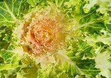Πράσινο διακοσμητικό λάχανο Στοκ εικόνα με δικαίωμα ελεύθερης χρήσης