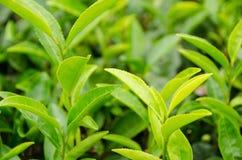 πράσινο ιαπωνικό τσάι φυτών Στοκ Εικόνες
