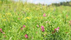 Πράσινο λιβάδι με τα άγρια λουλούδια απόθεμα βίντεο