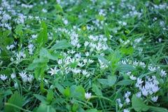 Πράσινο λιβάδι με τα άσπρα μικρά λουλούδια του κρίνου της κοιλάδας Στοκ φωτογραφία με δικαίωμα ελεύθερης χρήσης
