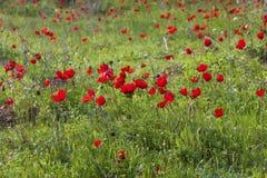 Πράσινο λιβάδι με τα κόκκινα anemones Στοκ Φωτογραφίες