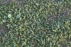 Πράσινο λιβάδι με τα φύλλα του Robert χορταριών και τις λεπίδες της χλόης Στοκ Εικόνα