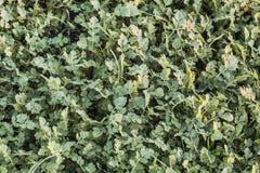 Πράσινο λιβάδι με τα φύλλα του Robert χορταριών και τις λεπίδες της χλόης Στοκ Εικόνες