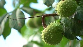 Πράσινο κάστανο στον κλάδο δέντρων που ταλαντεύεται στον αέρα απόθεμα βίντεο