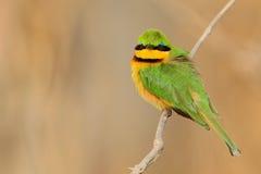 Πράσινο και κίτρινο πουλί λίγος μέλισσα-τρώγων, pusillus Merops, εθνικό πάρκο Chobe, Μποτσουάνα Στοκ φωτογραφία με δικαίωμα ελεύθερης χρήσης