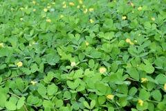 Πράσινο και κίτρινο Arachis υπόβαθρο φύσης pintoi Στοκ φωτογραφία με δικαίωμα ελεύθερης χρήσης