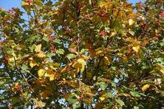 Πράσινο και κίτρινο leafage και κόκκινα μούρα του whitebeam Στοκ εικόνα με δικαίωμα ελεύθερης χρήσης