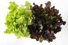 Πράσινο και κόκκινο δρύινο μαρούλι Στοκ Εικόνες