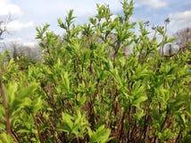 Πράσινο και νέο φύλλο στον κήπο Στοκ φωτογραφία με δικαίωμα ελεύθερης χρήσης