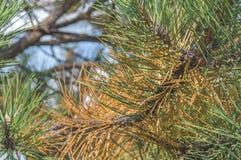 Πράσινο και πορτοκαλί μέρος δέντρων πεύκων την ηλιόλουστη ημέρα στην οδό πόλεων Στοκ Εικόνες