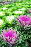 Πράσινο και πορφυρό λάχανο Στοκ εικόνα με δικαίωμα ελεύθερης χρήσης